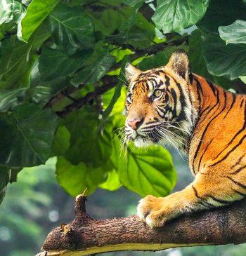 Tiger in Indonesien